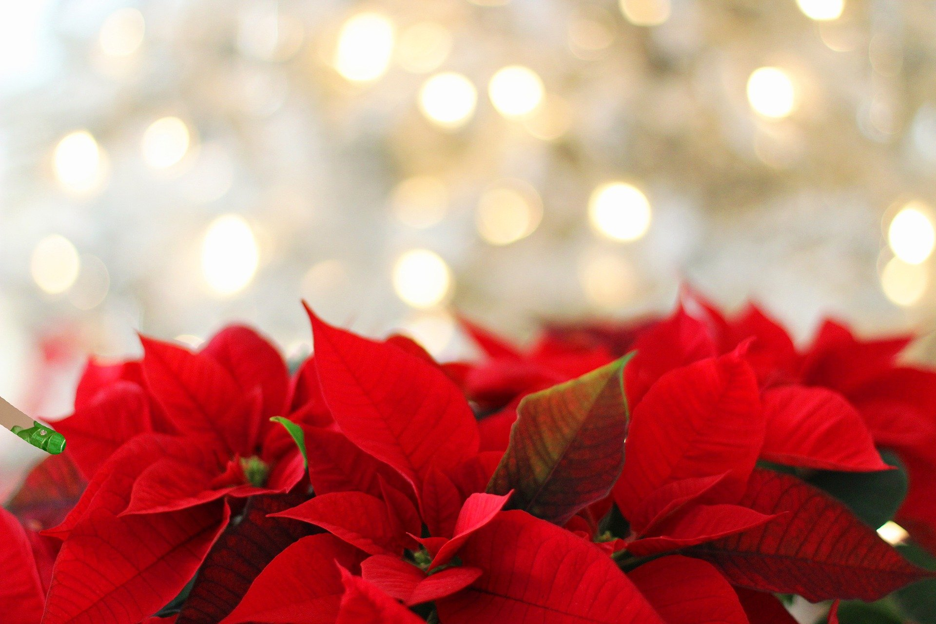 Christmas lights with poinsettia